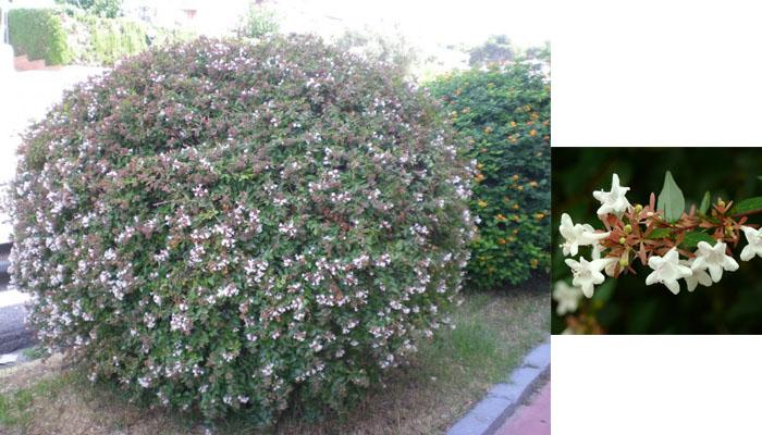 Abelia  - Plantas de exterior