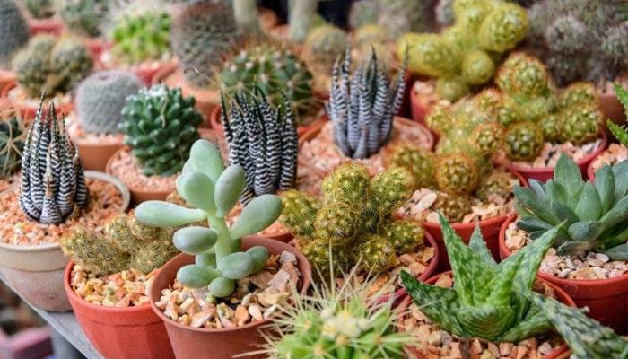 plantas de exterior cactus