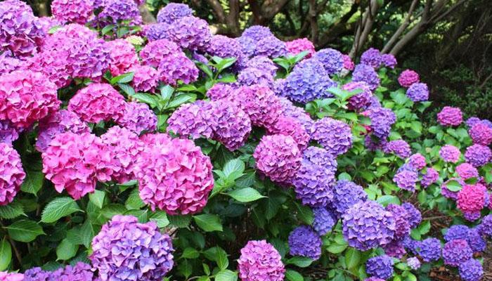 plantas de exterior Hortensias